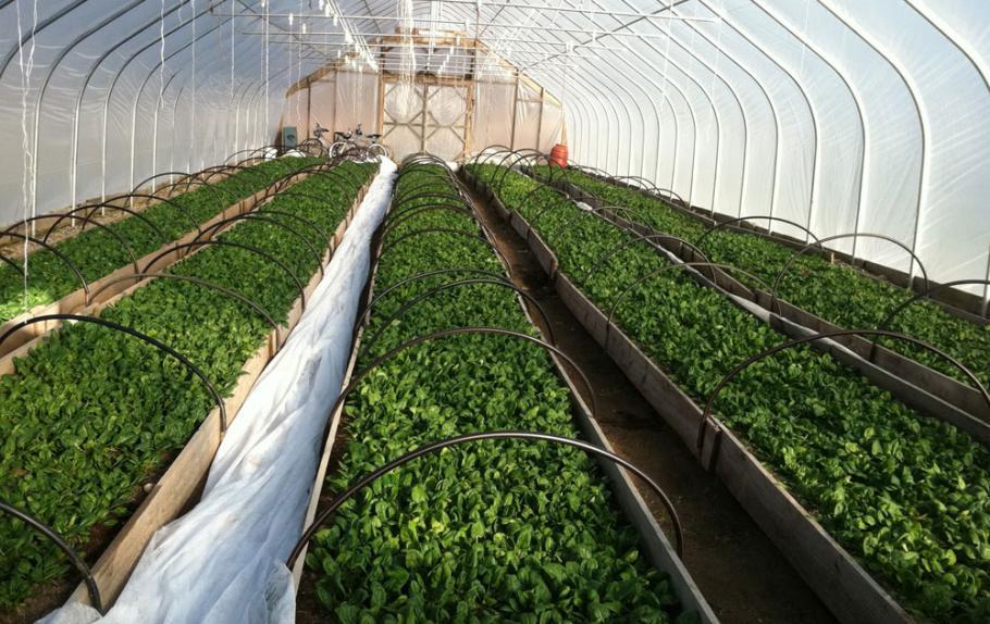 Камари салати от Петрич загиват, няма субсидии за марулята