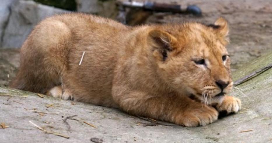 Двете лъвчета от благоевградския зоопарк са в стабилно състояние