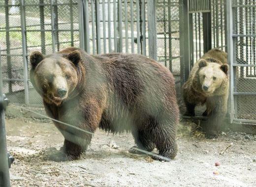 """Разхлаждат мечките в Белица с """"мечешки сладолед"""""""