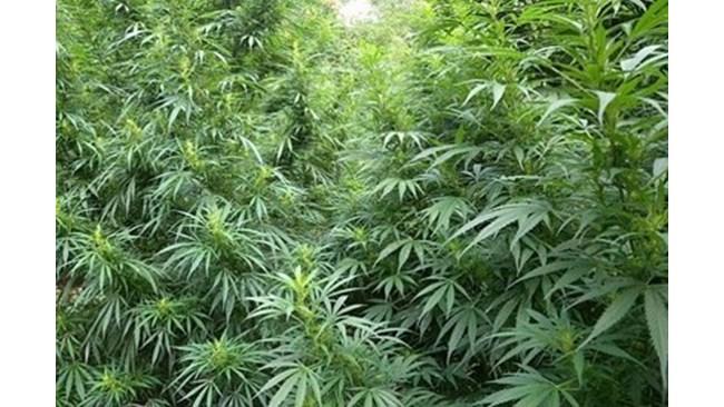 89 килограма марихуана са открити в местност край Петрич