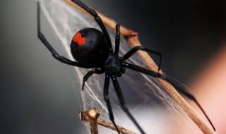 Кои са едни от най-опасните паяци на света