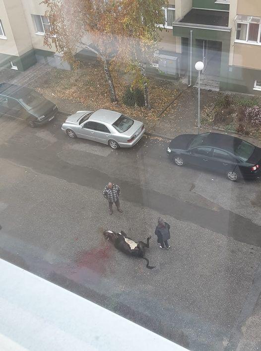 Наглост! Мъж закла крава пред жилищен блок в Гоце Делчев