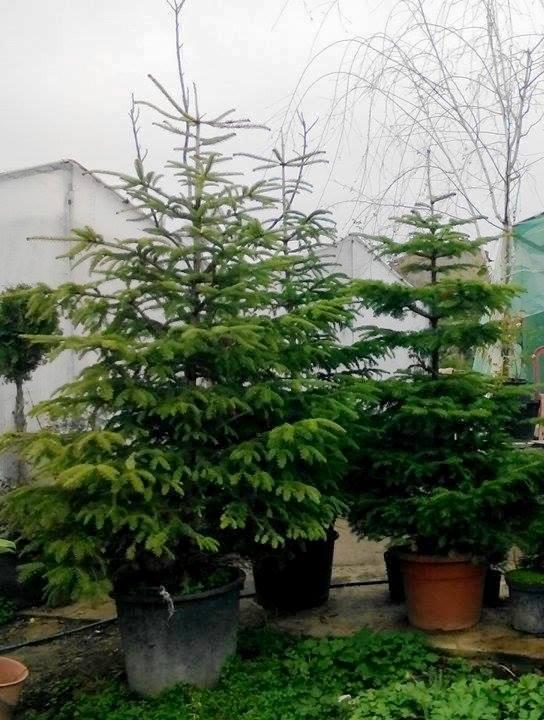 12000 коледни дръвчета има възможност да предложи на пазара за предстоящите празници Югозападното държавно предприятие