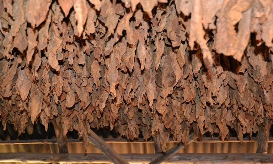 Тютюнопроизводителите ще получат 71,6 млн. лв. национална преходна помощ за кампания 2020 г.