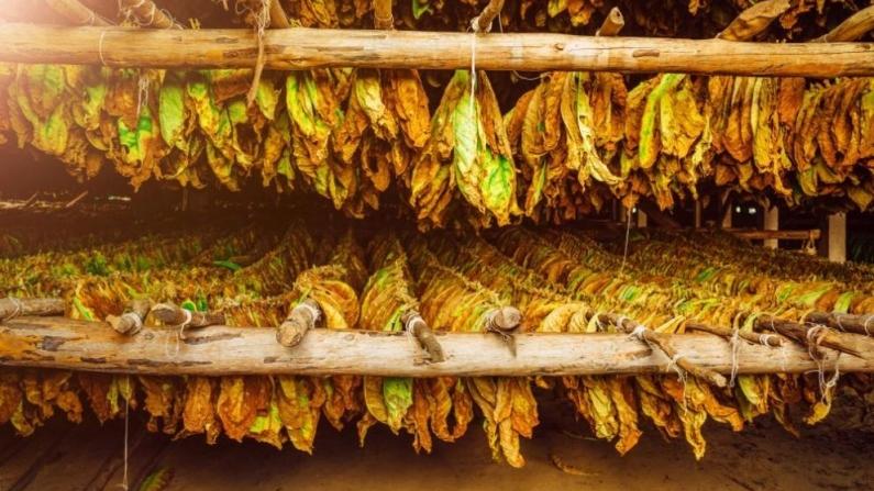 Недоволство сред тютюнопроизводителите в Югозападна България от приключилата изкупна кампания