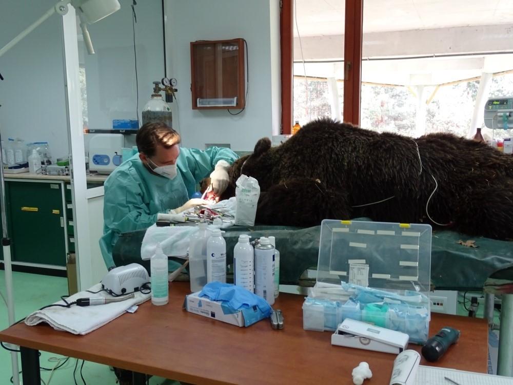 Годишният медицински преглед бе извършен във ветеринарната клиника на ПАРК ЗА ТАНЦУВАЩИ МЕЧКИ Белица