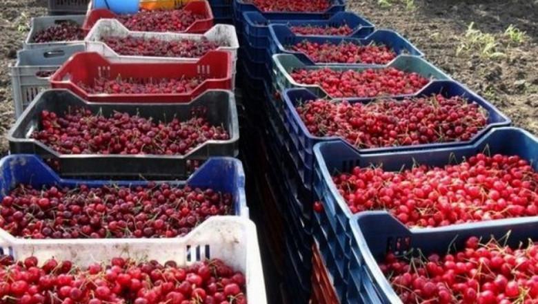 Със закъснение започва черешовата кампания в Кюстендилско