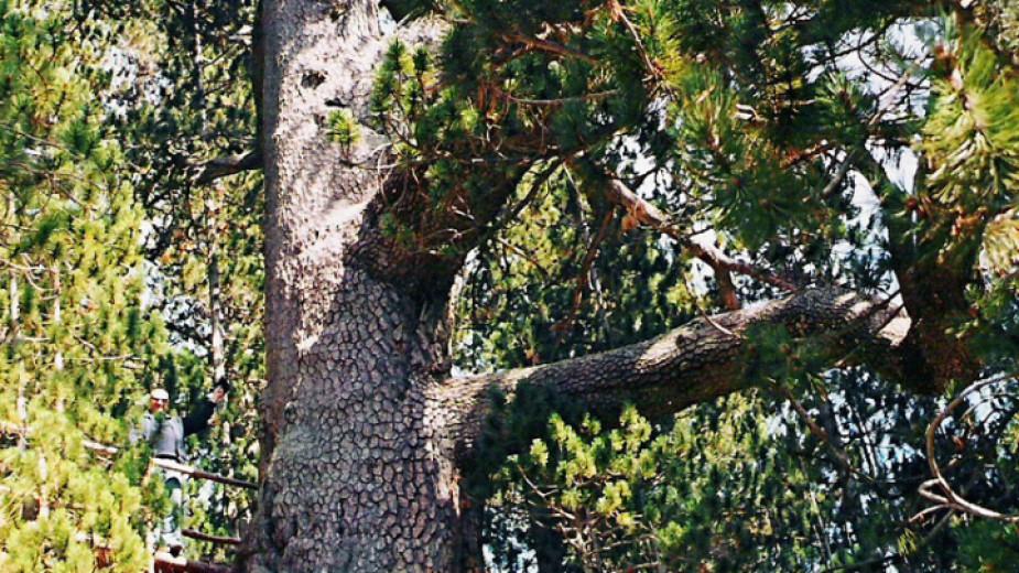 Започват дейности за спасяване на най-старото дърво в България