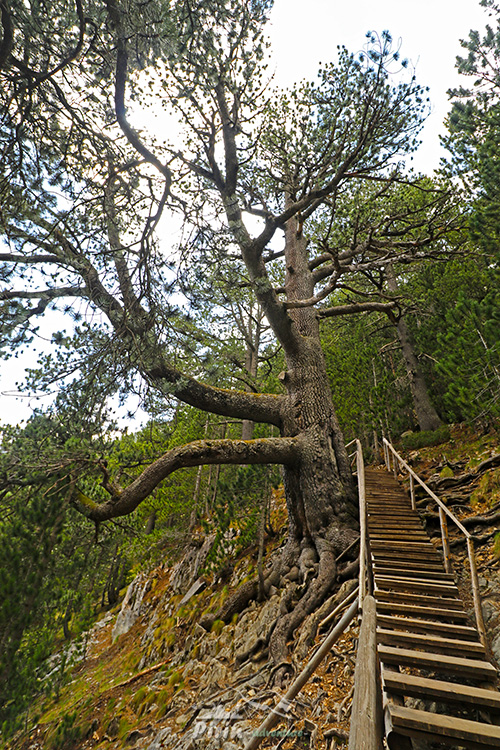 Обновен е подходът към най-старото иглолистно дърво в България – Байкушевата мура