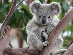 Около 400 австралийски коали ще бъдат ваксинирани срещу хламидия